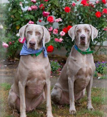 """VINNIE"" and ""SAM"" bonded weimaraner siblings - OWR"