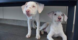 Rescue Puppy Acts As Blind, Deaf Littermate's Guiding Star