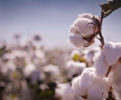 This Fashion Month, Learn About the Benefits of GMO Cotton