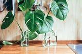 10 Expert Tips to Keep Your Monstera Plant Growing Tall