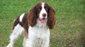 Improve Your English Springer Spaniel's Skin & Coat With This One Simple Hack