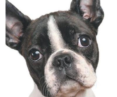 Health Issues for Brachycephalic or Flat-Faced Dogs