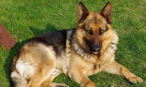 3 Amazing Ways To Honor A German Shepherd Who Passed Away