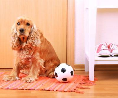 What Is Idiopathic Immune-Mediated Thrombocytopenia in Dogs?