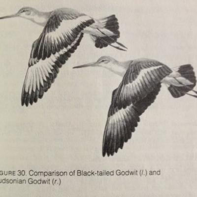 Tinicum's Most Famous Bird, 35 years Later