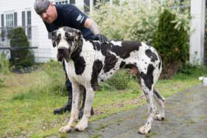 More Than 80 Great Danes Saved From Suspected Puppy Mill