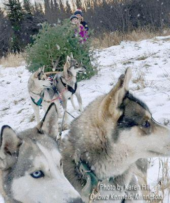 Bringing Home the Tree on a Huskies Sleigh on a FiveSibes Christmas Flashback Friday!