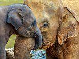 Elephants rarely suffer from cancer because their bodies have a rare 'zombie gene'