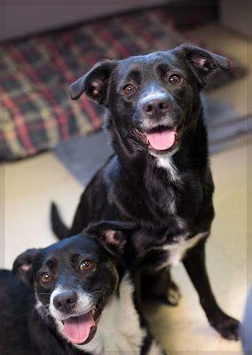 """ARTIE"" and ""HERA"" dynamic duo Border Collie mix sisters!"