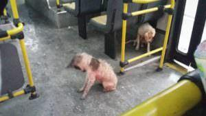 Bus Driver Breaks The Rules & Lets Stray Dogs In From Torrential Downpour