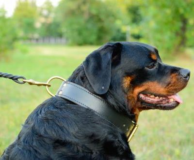 Learn About The Safety And The Risks Of Using Rottweiler Collars And Harnesses