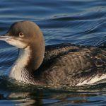 Twitching a Pacific Loon in Oyster Bay
