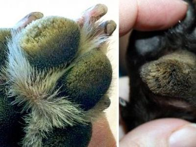 Are Your Dog's Paw Pads Hairy? It Might Be Hyperkeratosis. Here's What To Do