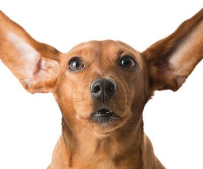 Dog Ear Infection - What to Do
