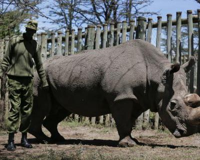 World's last male white rhino dies; only 2 females remain