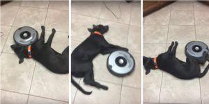 Dog Is Not Phased By The Roomba Attempting To Clean Him