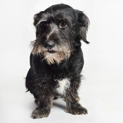 Adoption Monday: Monica, Basset Griffon Vendeen, Scottish Terrier Scottie, Burbank, CA