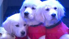 Adorable Puppies Help Jimmy Fallon Predict NCAA Final Four Winner
