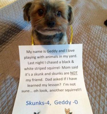 "Yuckshire Terrier ""My name is Geddy and I love playing"