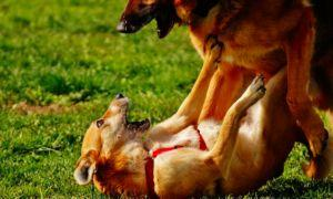 How To Help Your Pup Feel Safe Around Other Dogs After Being Attacked