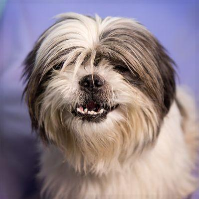 """SCRUFFY"" happy toothy Shih Tzu mix"