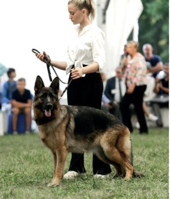 Crippled GSD wins Best of Breed at French Championship Show