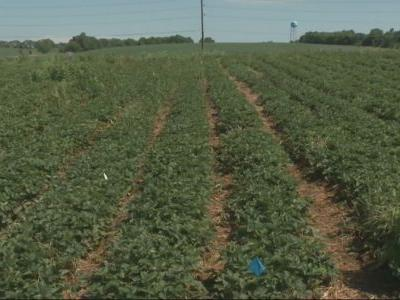 Drought conditions cut strawberry picking season short in Iowa
