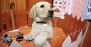 Wrangler, Famous Service Dog From The Today Show, Dies At Age 6