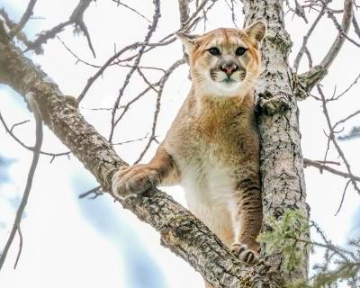 The cat came back: Canada's cougar comeback