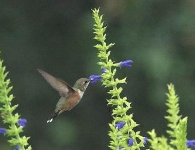 Salvias and the Hummers that Love Them