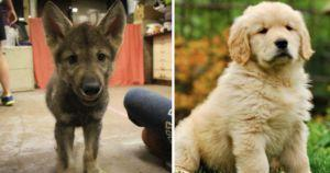 Wolf Puppies Won't Understand You Like Your Dog Can, Research Shows