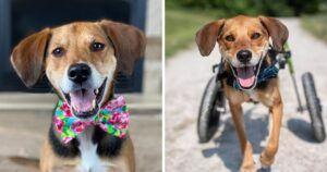 Abuse Survivor Makes It To The American Humane Hero Dog Semifinals!