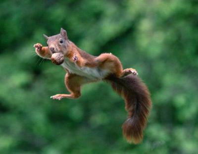 Photos of Squirrels Jumping with Nuts
